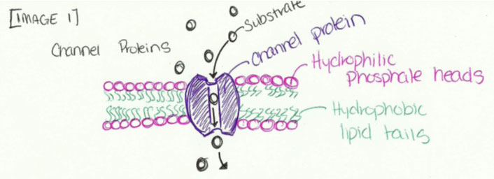 A diagram of a cell with channel proteins labeled