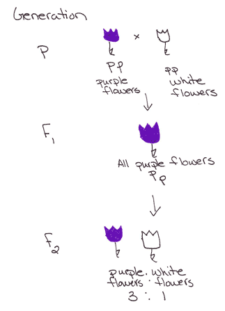 A chart of a monohybrid experiment between a purple and white flower