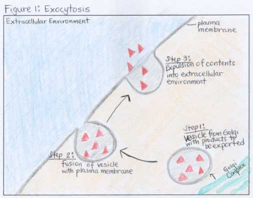 What Are Endocytosis And Exocytosis Wyzant Resources