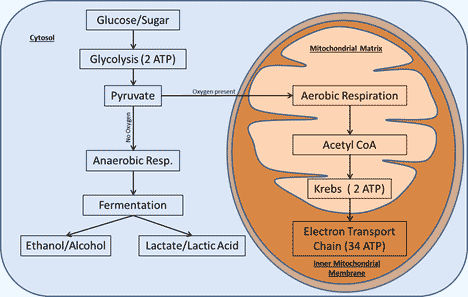 Cell respiration wyzant resources cellular respiration cycle ccuart